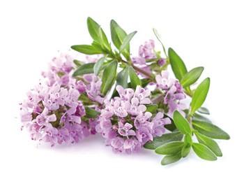 Mateřídouška úzkolistá (Thymus serphyllum) | Herbář | Herbofit - zdraví z  přírody